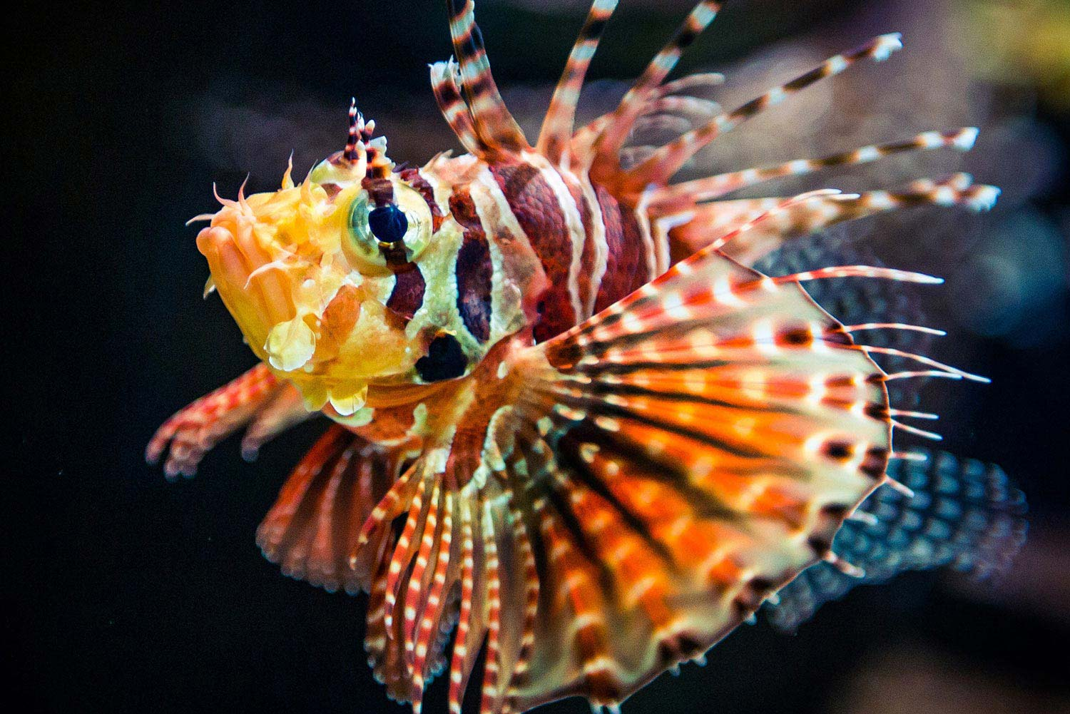 Lionfish Native to the Indo-Pacific.